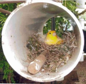 finch usng pvc nest box
