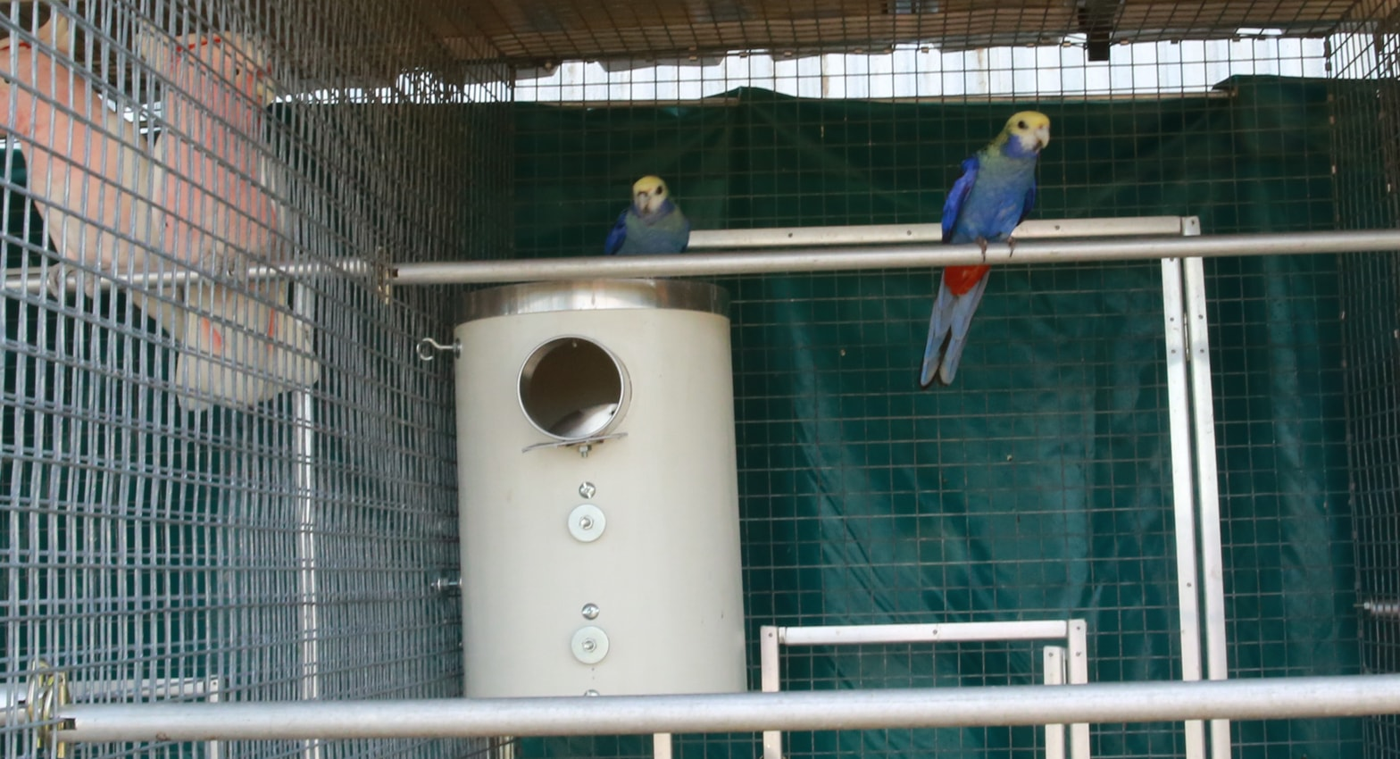 blue rosellas near pvc nest box