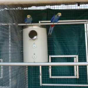 blue rosellas on pvc nest box