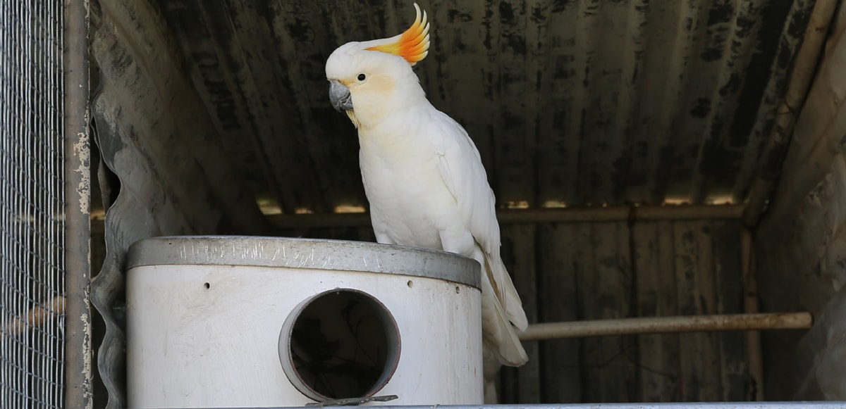 close up of pvc nest box and white cockatoo