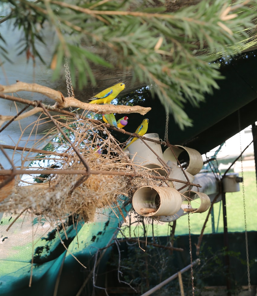 finches with pvc nest box
