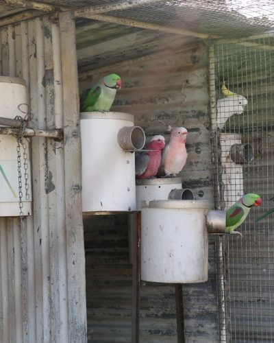 galah major and alexandrine on pvc nest box