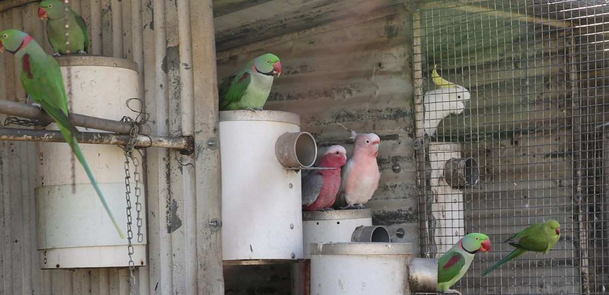 galah major and alexandrines on pvc nest boxes