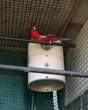 Red Rosella next to pvc nest box face on