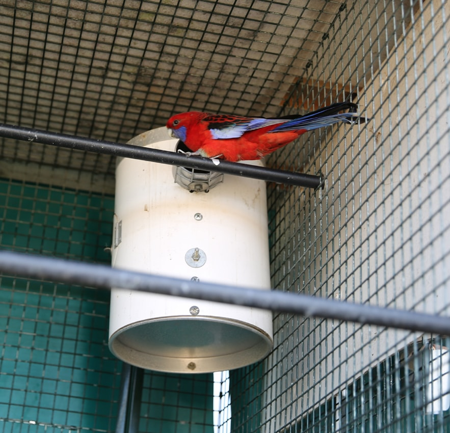 Red Rosella next to pvc nest box
