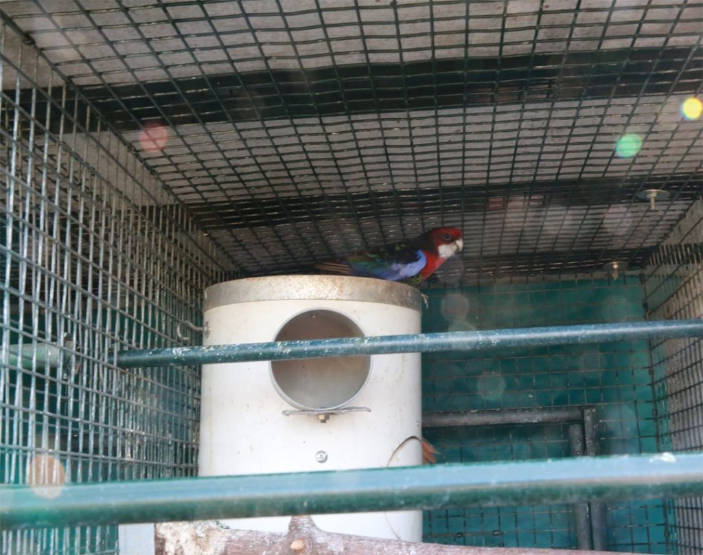 Red Rosella on top of nest box