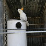 white cockatoo side on pvc nest box